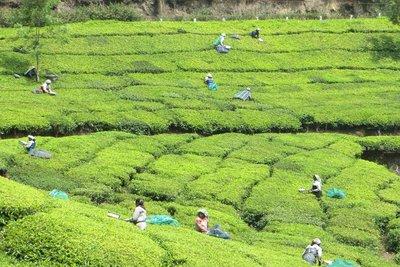 Les champs de thé Munnar