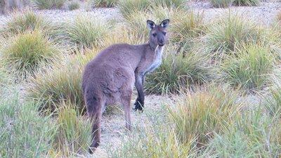 Un kangourou qui cherche à manger