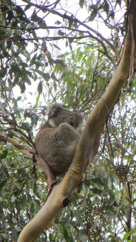 Un koala distrait par nos regards