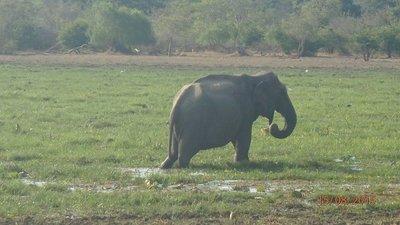 A lone elephant feeding