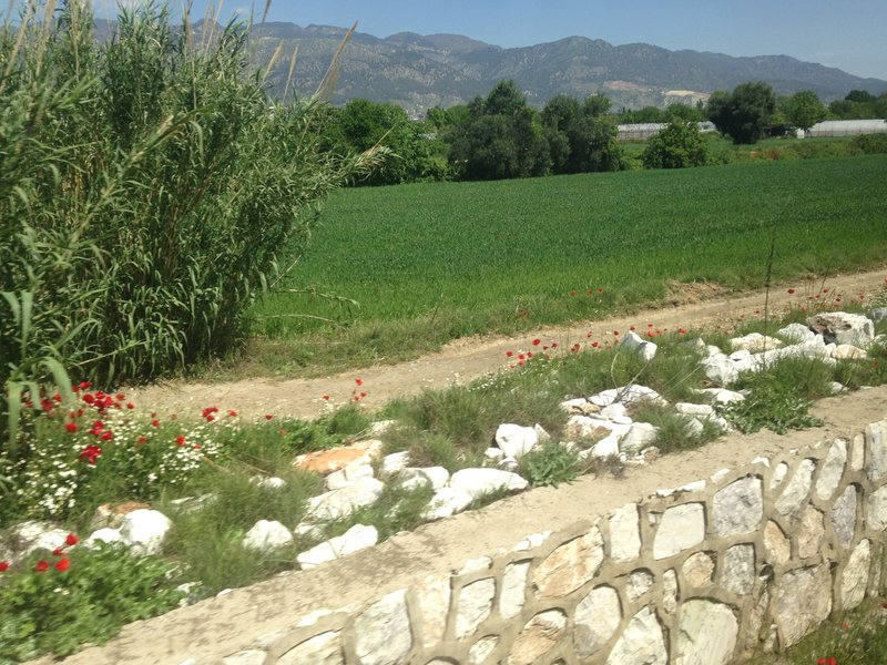 On the train to Pamukkale (Denizli) - poppies in flower