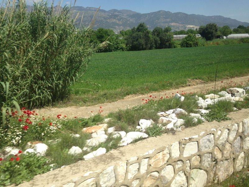 On the train to Pamukkale (Denizli) - poppies in flower