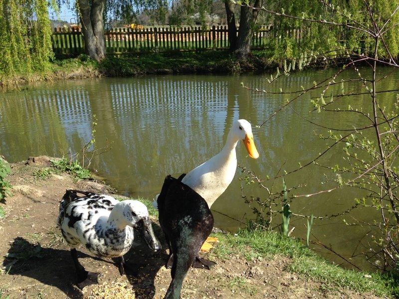 The amusing Indian Runner ducks