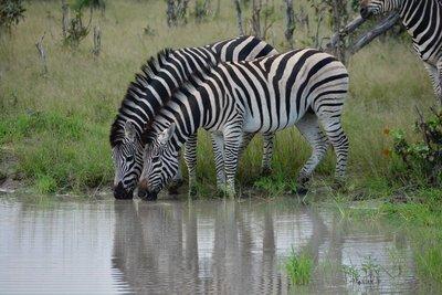 Drinking_Zebras_Vumbura.jpg