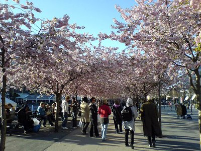 Cherry blossom viewing in Sweden