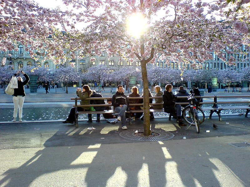Cherry trees in Stockholm