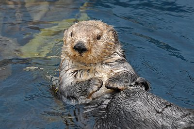 Sea_Otter_.._Oceanarium.jpg