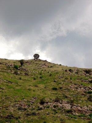 lone tree on Mt. Lemon