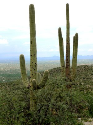 saguaro over Tucson