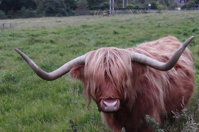 Highland cattle, near Inverness