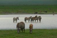 Sebrad vees Ngorongoros