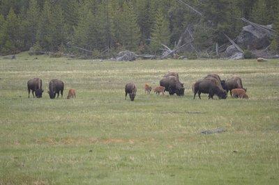 Bison herd with calves