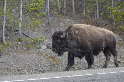 Bison clearly have the right of way