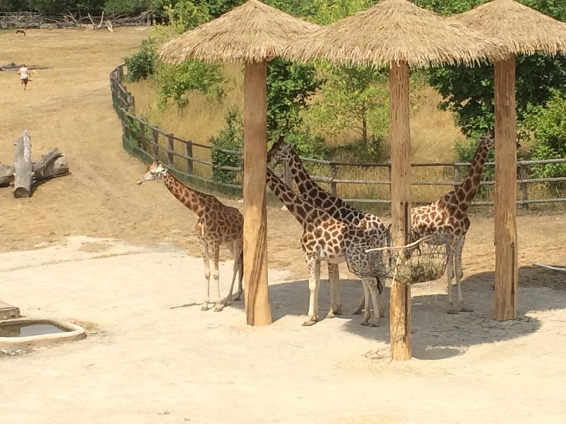 Giraffes enjoying the shade
