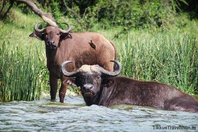 i_buffalo.jpg