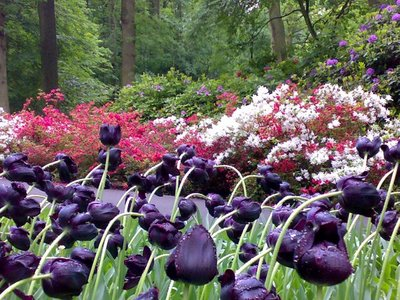 Wilting ebony tulips
