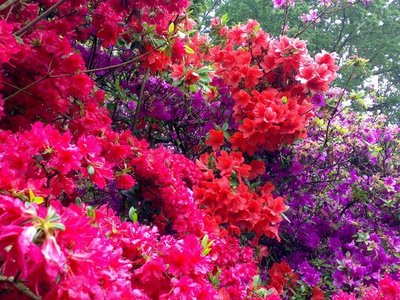 Azaleas for mum and nanna