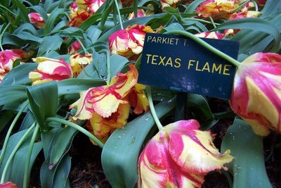 Wilting 'Texas flame' tulips
