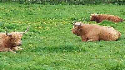 Scotland Heeland Beasts