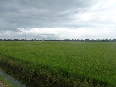 Reisfelder unter dem Sealevel