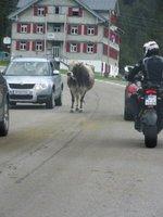 90_IMG_Cows_vs_cars.jpg