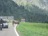 IMG_Cow_not_moving.jpg