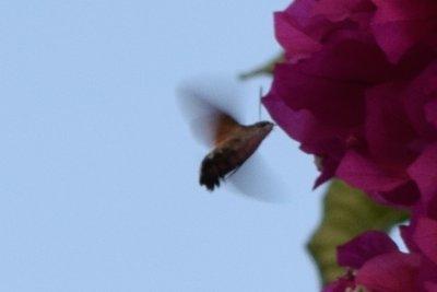 Hummingbird Hawkmoth 3