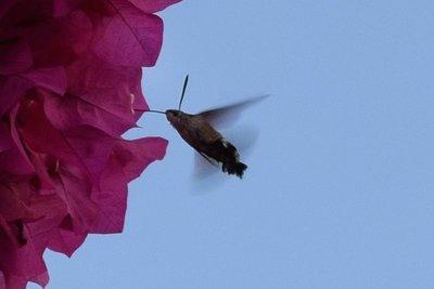 Hummingbird Hawkmoth 1