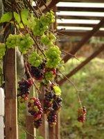 Grape Vines, Cameron Highlands