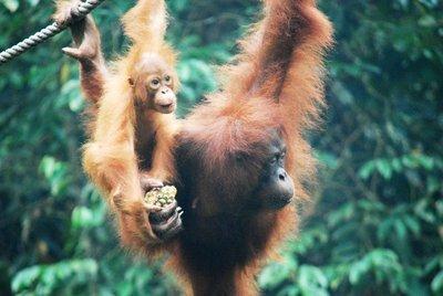 Orangutans, Semmengoh nature reserve