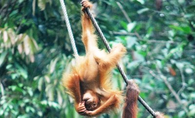 Orangutans Semmengoh nature reserve