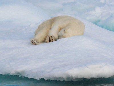 polar bear, Scoresby Sund