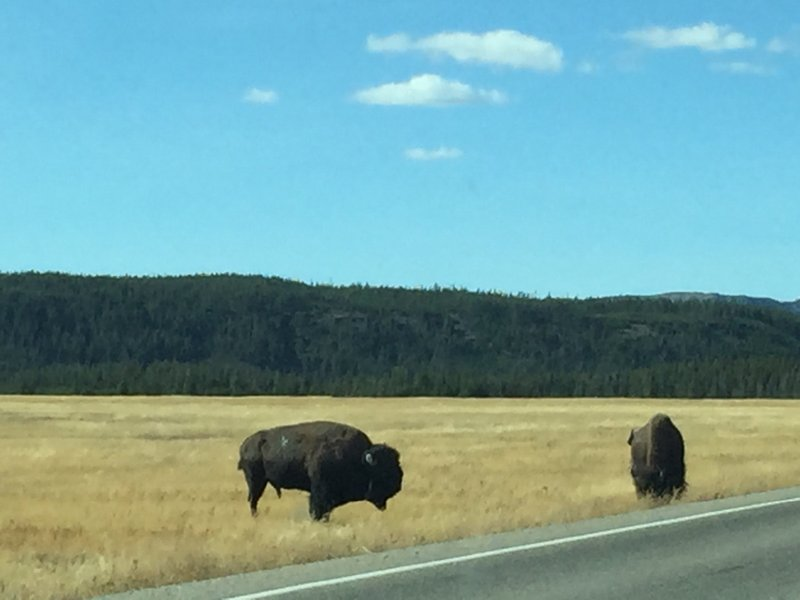 Bison glazing next to the road