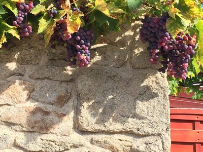 Grapes growing on a house ...