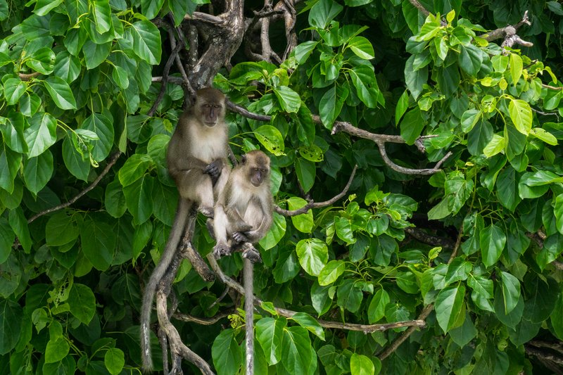 Phi Phi Monkeys 1