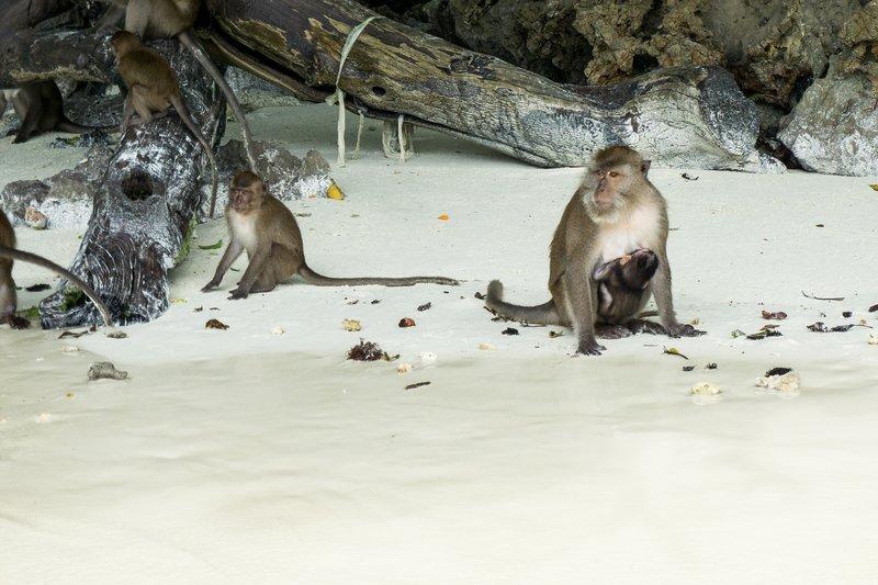 Phi Phi Monkeys 2