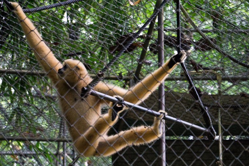 White Gibbon 1