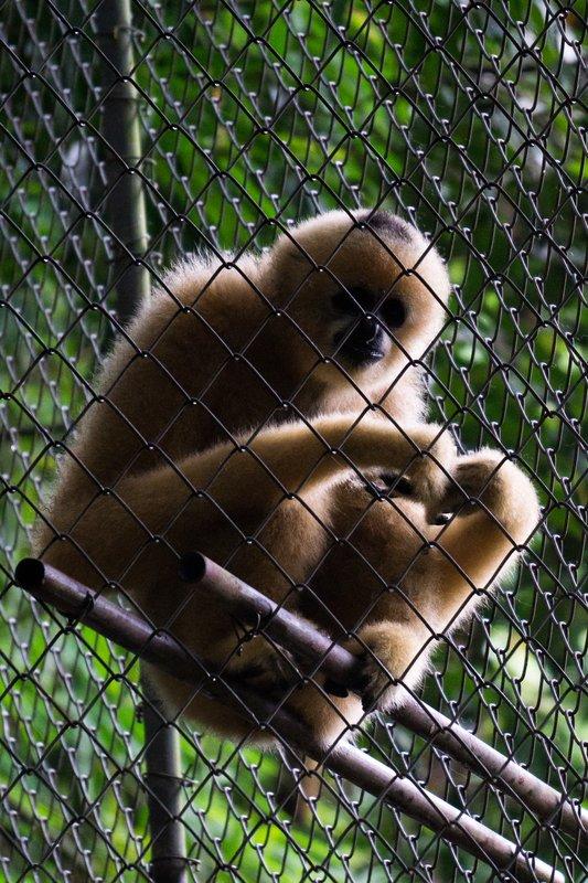 White Gibbon 2
