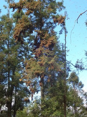 Monarch Butterflies weighing down the pine tree branches