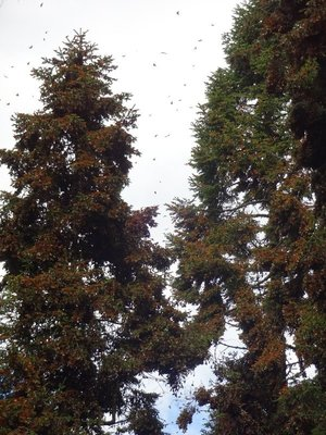 Monarch Butterflies weighing down the pine tree branches, drying out their wings
