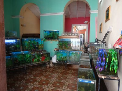 Selling Tropical Fish from your Living Room, Cienfuegos