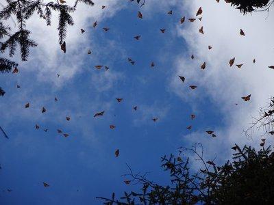 Monarch Butterflies taking flight during sunny spells