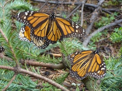 Monarch Butterflies drying out their wings