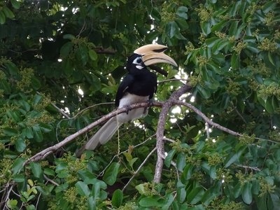 Hornbill, Pangkor