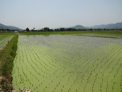 Rice fields on the way to Namsan, Gyeongju