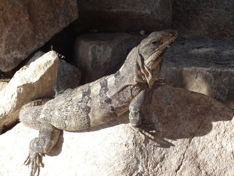 Iguana wandering the Chichen Itza Ruins