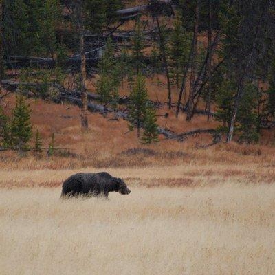 Grizzly Bear Boar.