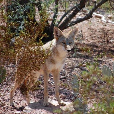 Female coyote @ Zoo.