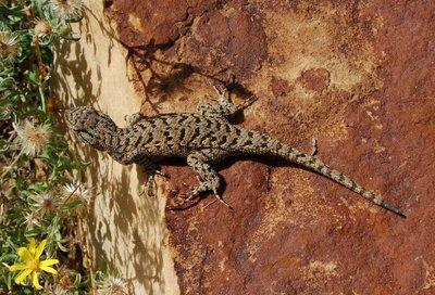 Northern plateau lizard.