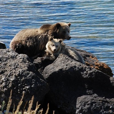 Grizzly Bear Sow and Cub.